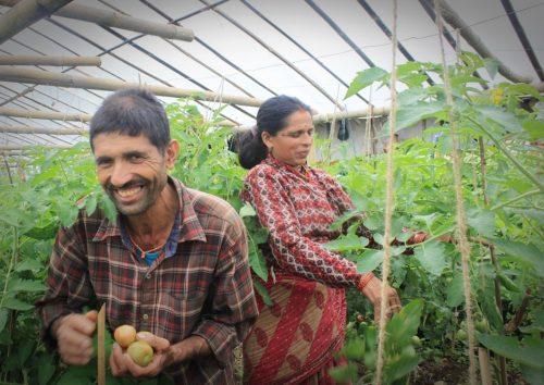 Tomaatit kypsyvät hyvin tomaattitunnelissa. Osuuskunnasta nostettu laina on mahdollistanut tunnelin rakentamisen ja myös koulutusta viljelyyn on saatu. Kuva on Bhattedandan VDS:stä ja Bhaisen kylästä.