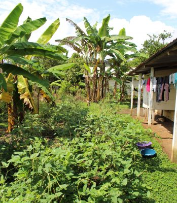 Pihapiirit on nyt valjastettu moninaiseen viljelyyn. Tässä pihassa on alettu kasvattaa papuja ja banaani.