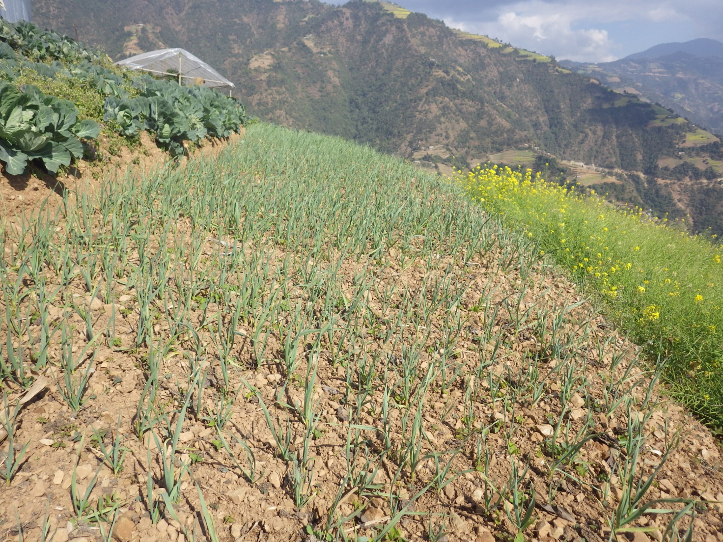 onion-farming